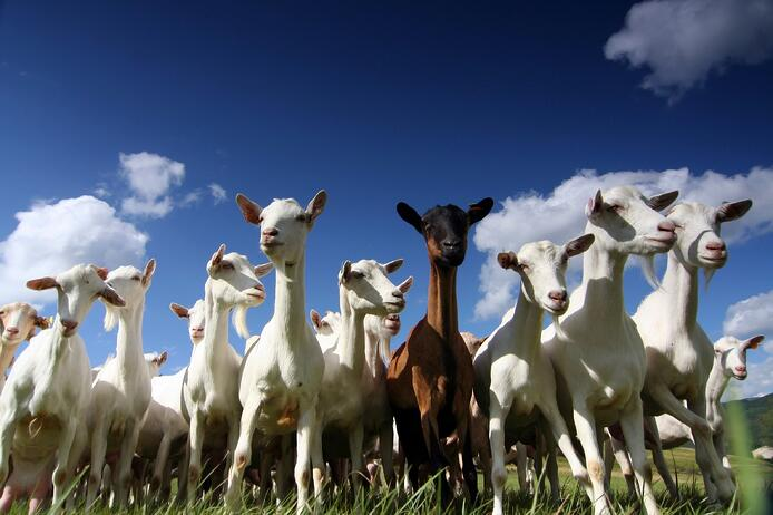 goats-med.jpg